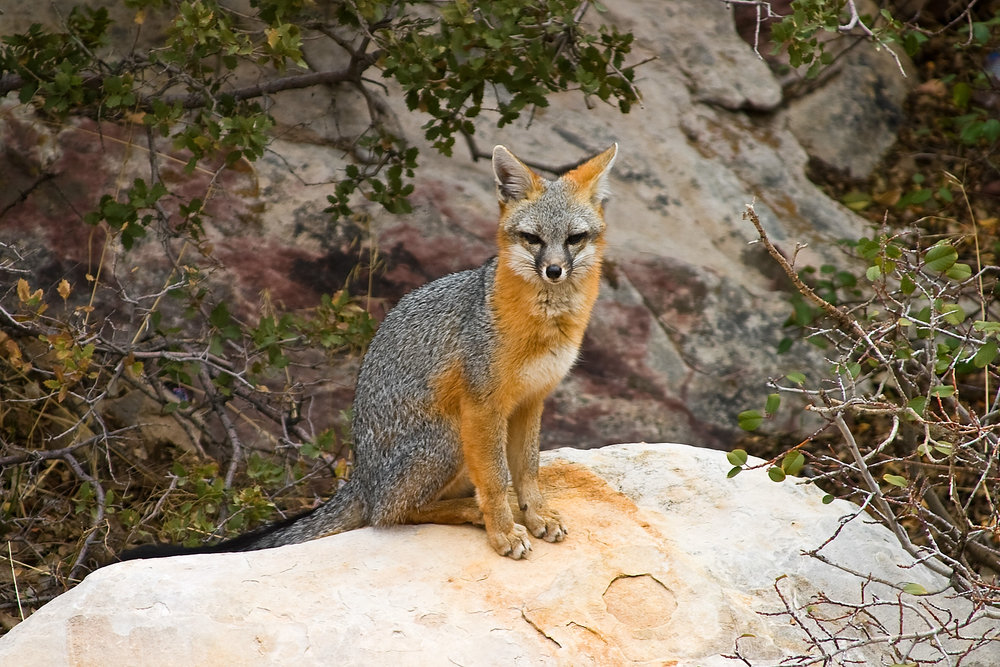 Though many have seen the ubiquitous red fox, few people know of the shy gray fox. Photo by James Phelps, licensed under Creative Commons  Attribution 2.0 Generic .