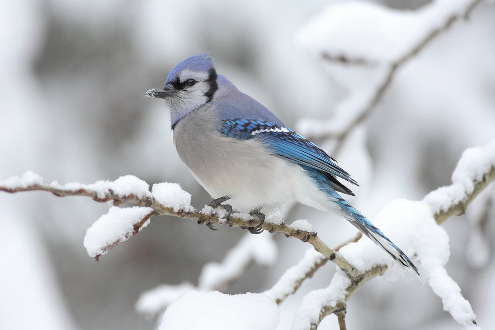 The blue jay is a common resident of Northern Delaware and a part of Corvidae encompassing many of the smartest birds. Photo from Wikipedia.