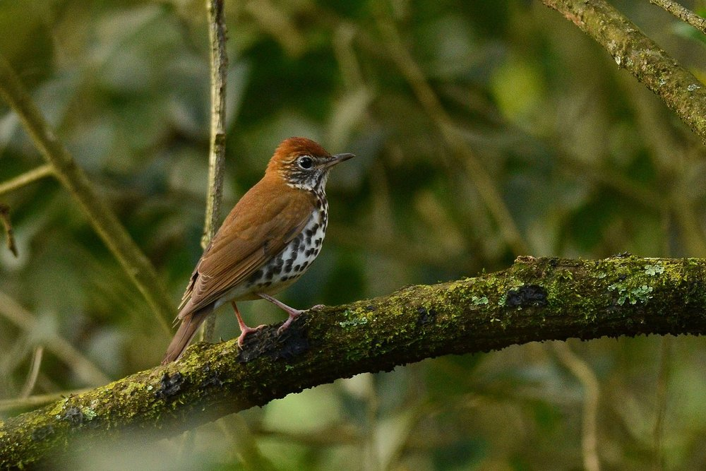 The wood thrush and some other songbirds can control both sides of their vocal organs separately, allowing them to sing with two distinct voices at once. Photo by Amado Demesa under    Attribution-ShareAlike 2.0 Generic    license.