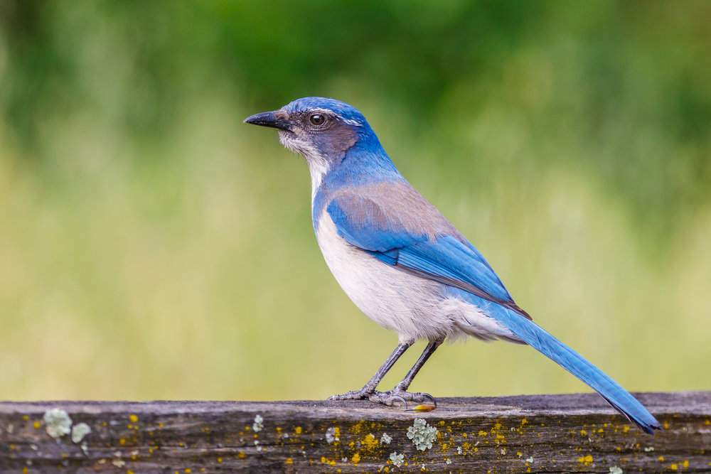 The California scrub jay is well-known for its thievery. These jays have displayed great memory and spatial understanding. They also can imagine what other jays know and think—a necessary skill for protecting food caches. Photo unchanged by Allan Hack under    Attribution-ShareAlike Generic 2.0    license.