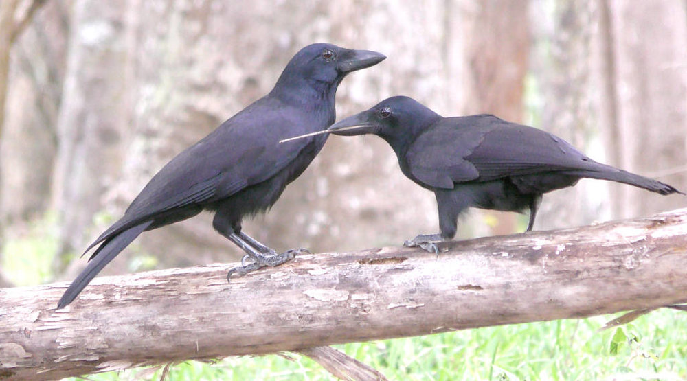 New Caledonian crows display sophisticated tool use. Their beaks have over time become specialized to using tools. Photo unchanged by Natalie Uomini under    Attribution-NonCommercial-ShareAlike 2.0 Generic    license.