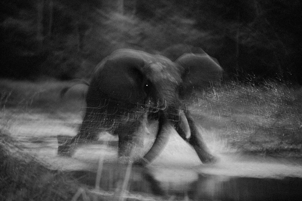 Mike Nichols, Forest Elephant