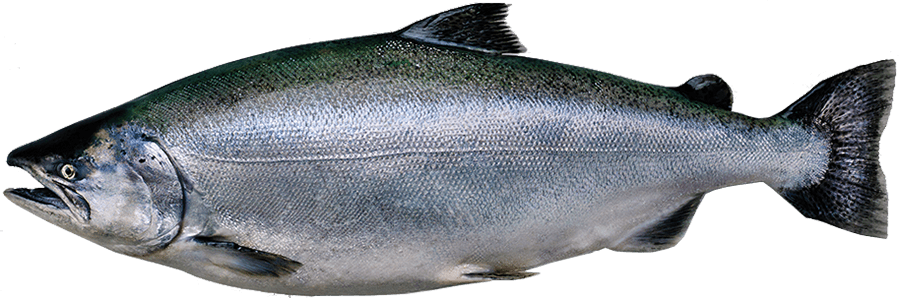 kingsalmon.png