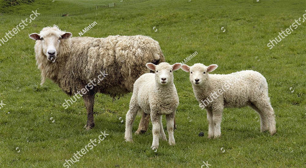 lamb-sample.jpg