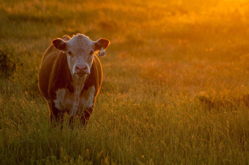 Grassfed Beef.jpg