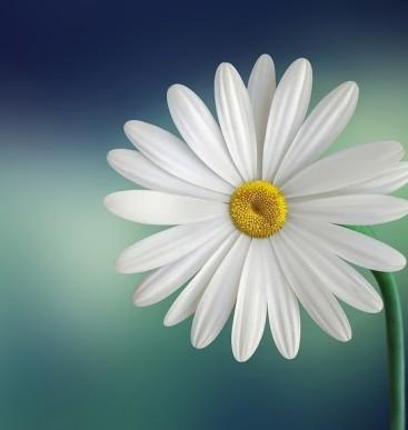 marguerite-daisy-beautiful-beauty-large-e1473142046855.jpg