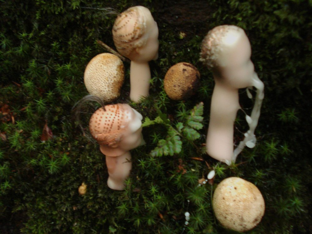 'Revenants' (Mushrooms) Palmer White.jpg