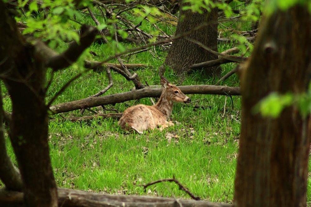 Woods Deer