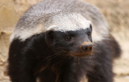 Honey-Badger.jpg