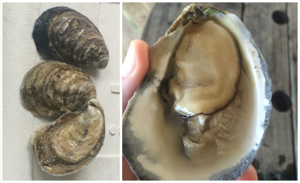 Beautiful Gulf oysters grown on Dauphin Island, AL using the same techniques as those used at the Barrier Island farm.