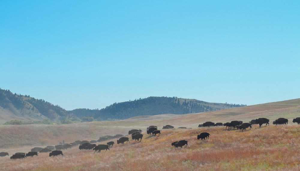 Buffalo Roundup - South Dakota