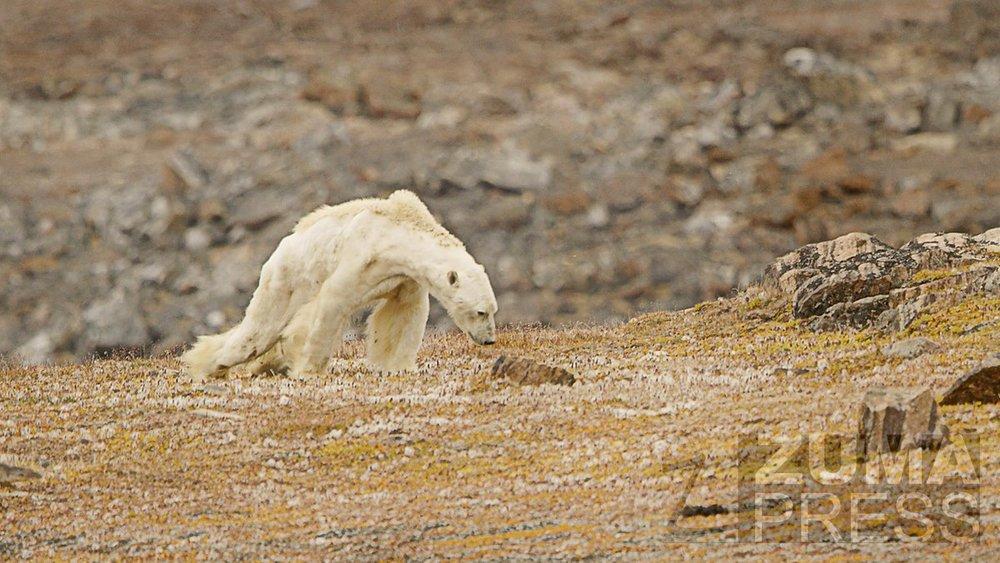 Still from the video of a starving polar bear, shot by Paul Nicklenhttps://pbs.twimg.com/media/DQka32iVoAE-_1t.jpg