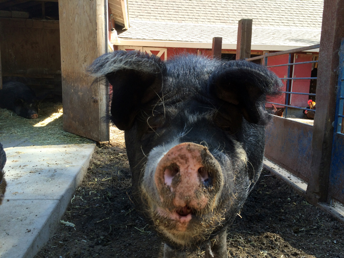 pig-little farm-snout-small.jpg