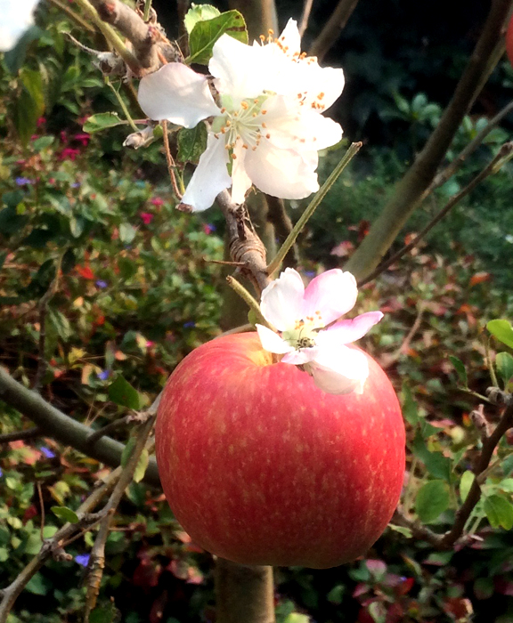 apple tree-backyard-2017_adj01-crop1.jpg