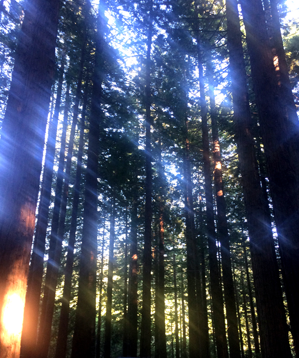 Redwood Gove-sun through the trees_adj01-sm.jpg