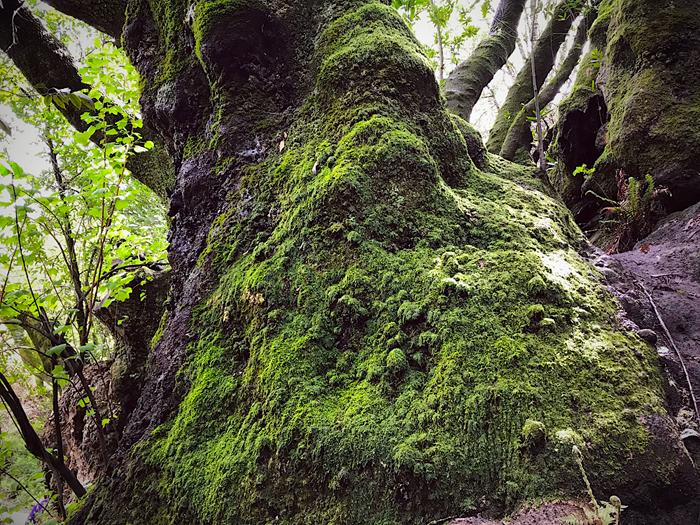 Tilden-Mossy Tree_adj01a-sm.jpg