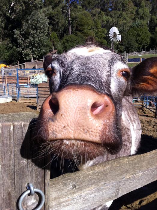 Little Farm-cow_adj01-sm.jpg