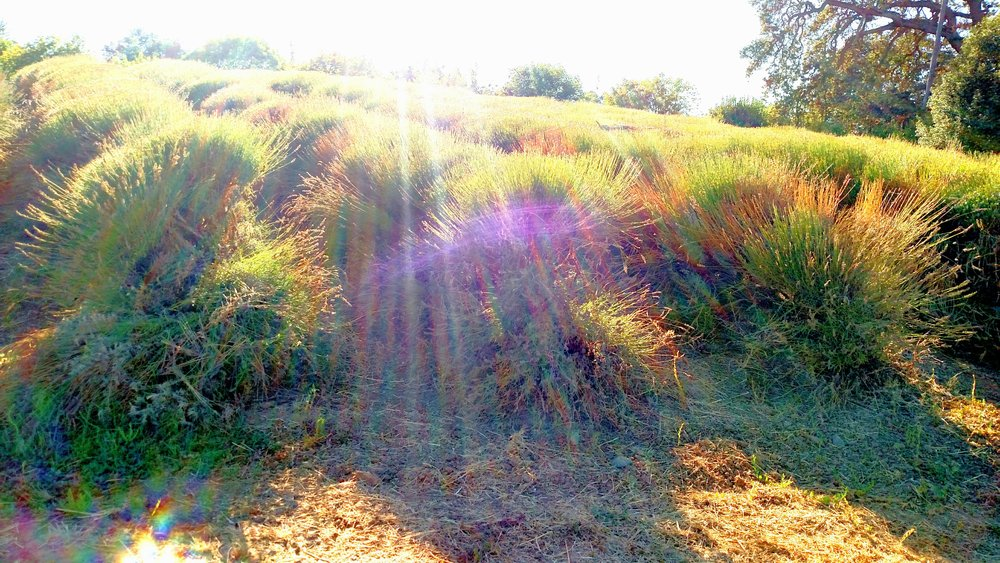 sunnyfield2.jpg