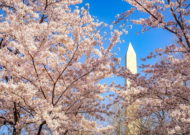 DC's justifiably iconic cherry blossoms, in context. #cherryblossomfestival #washingtondc #springhassprung
