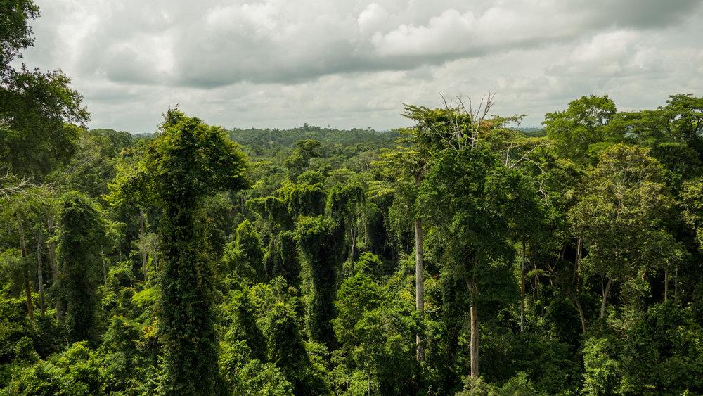 Forest canopy at Kakum National Park near Cape Coast