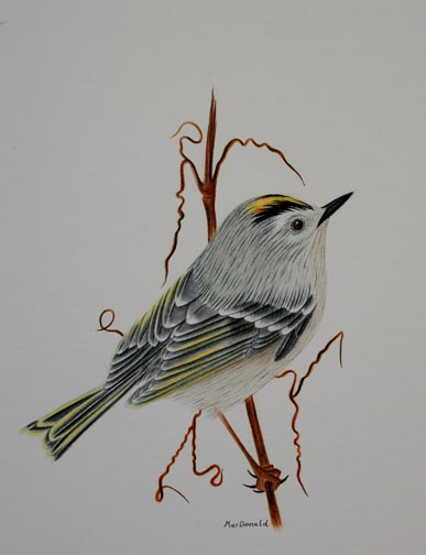 golden-crowned-kinglet-3-IMG_3203-001.jpg