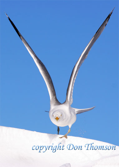 seagull-on-snow.jpg