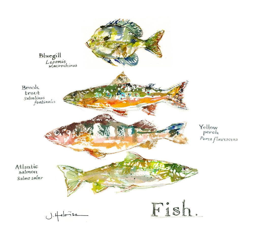 Fish of Vermont, for Lake Champlain International, J.Heloise 2016