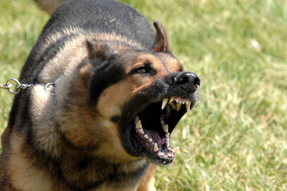 Aggressive Dog Rehabilitation    Is your dog aggressive with other pets or people? We address the root cause of dog aggressive behavior.