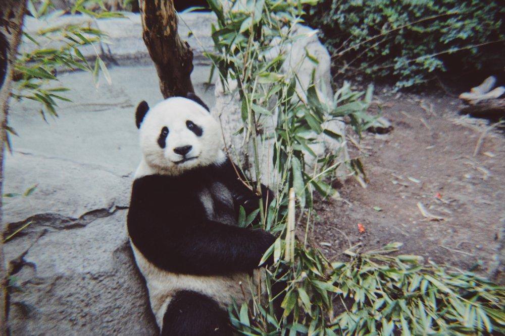 #49 Panda Bear.JPG