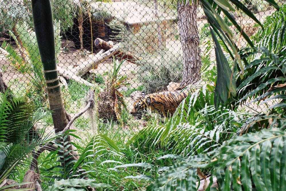 #139 Tiger Stalking.JPG