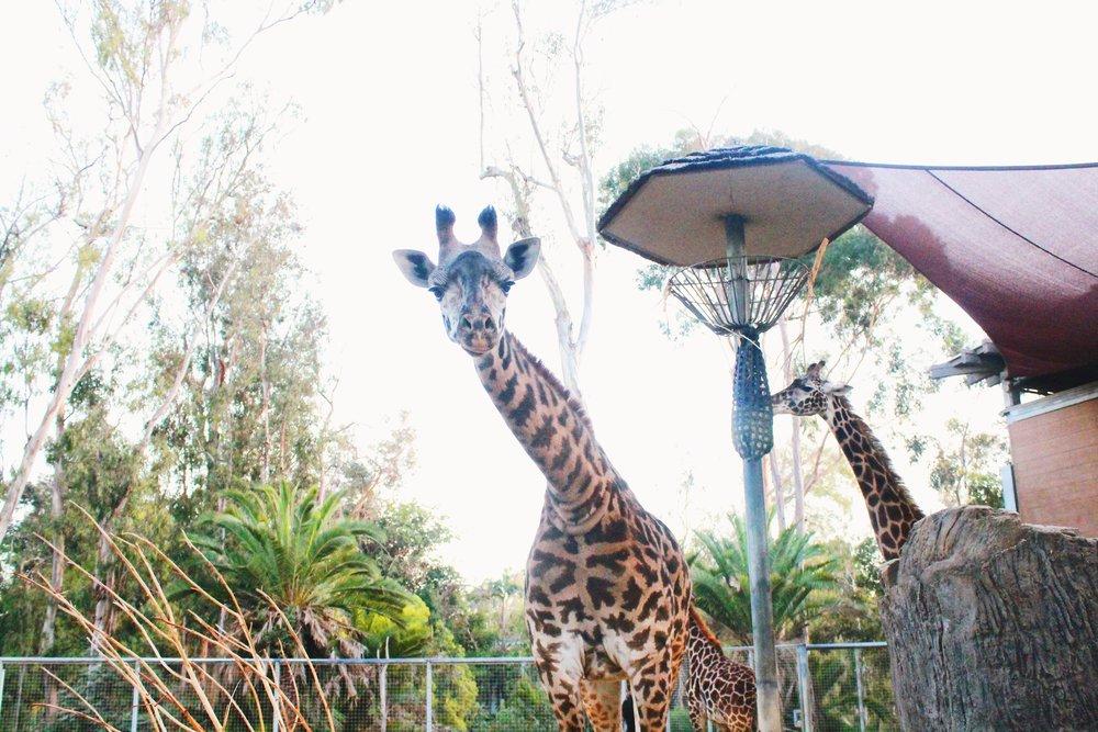 #357 Legit Giraffe.JPG