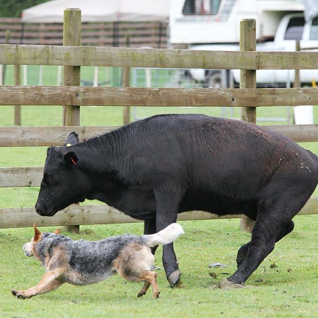 Roo catching a runaway cow at the trial. She gave me a heart attack more than once that weekend! But she sure is a good little cow dog 🐂🐺 ---------------------------------- #blueheeler #heeler #cattledog #australiancattledog #acd #heelergram #acdland #heelerclub #cowdog #redheeler #dogstagram #instadog #dog #workingdog #herding #cowherding #ilovemydog #ilovemyheeler #badass