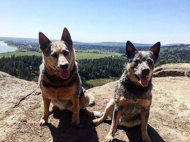 First High Knoll hike of 2016 🐺💪 ----------------------------------- #blueheeler #heeler #australiancattledog #redheeler #acd #cattledog #heelernation #heelergram #acdland #heelerclub #dogstagram #dogsofinstagram #instadog #heelersofinstagram #summer #nature #canada #britishcolumbia