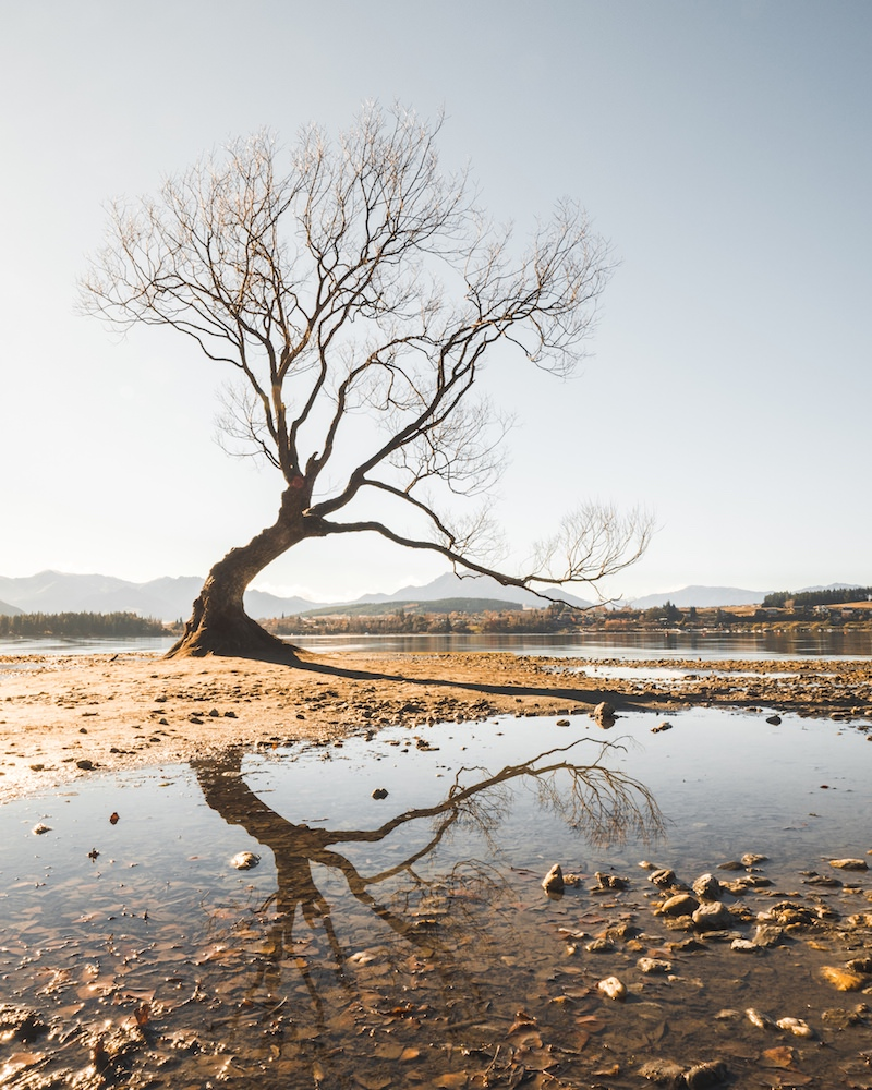 Lone tree of lake wanaka   buy