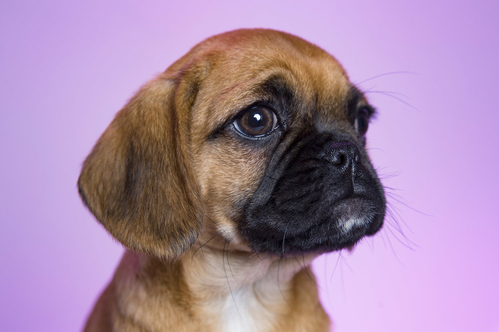 Pet_Town_Pugalier_11_July_16_5.jpg