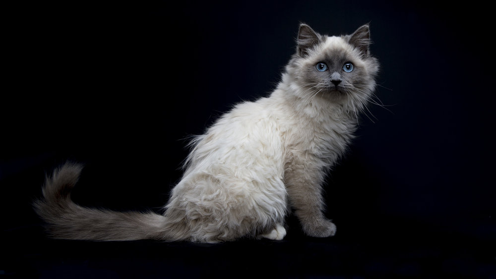 Pet_Town_Ragdoll_11_July_16_1.jpg