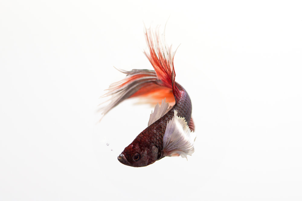 Siamese_Fighting_Fish_2_July_16_7.jpg