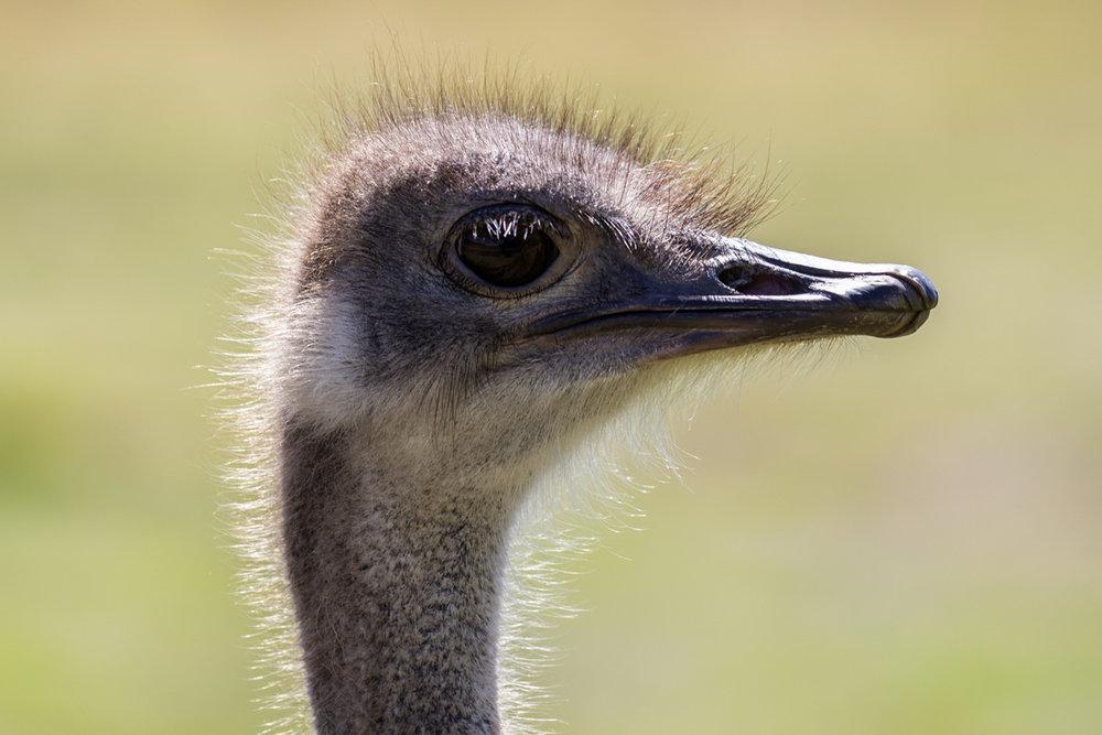Ostrich_11 (1).jpg