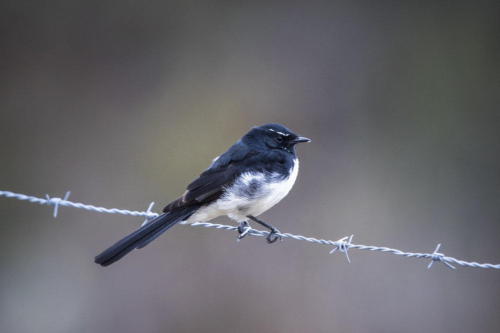 Willie_Wagtail_2.jpg