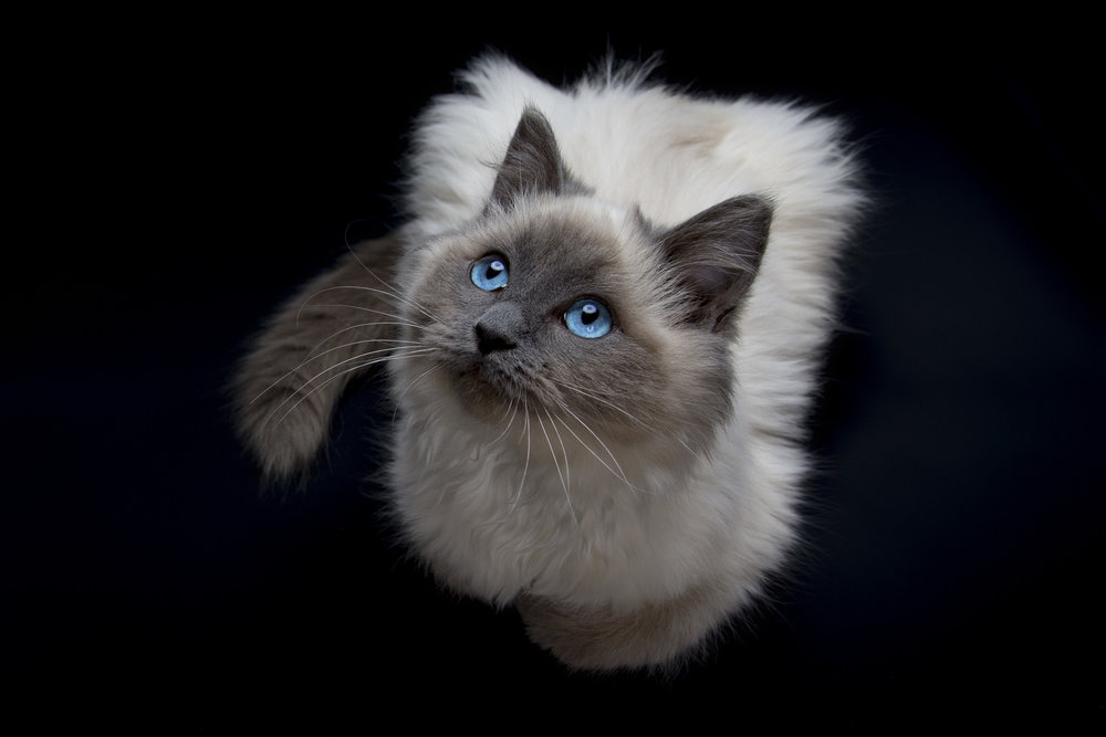 Pet_Town_Ragdoll_11_July_16_3.jpg