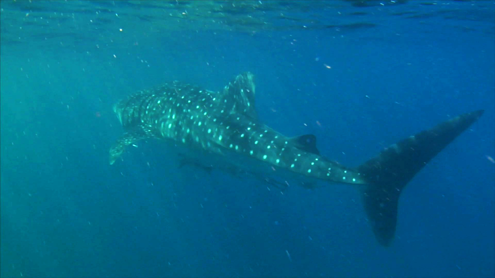 Whale Shark copy.jpg