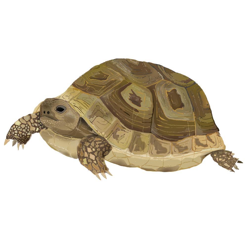 T - Tortoise