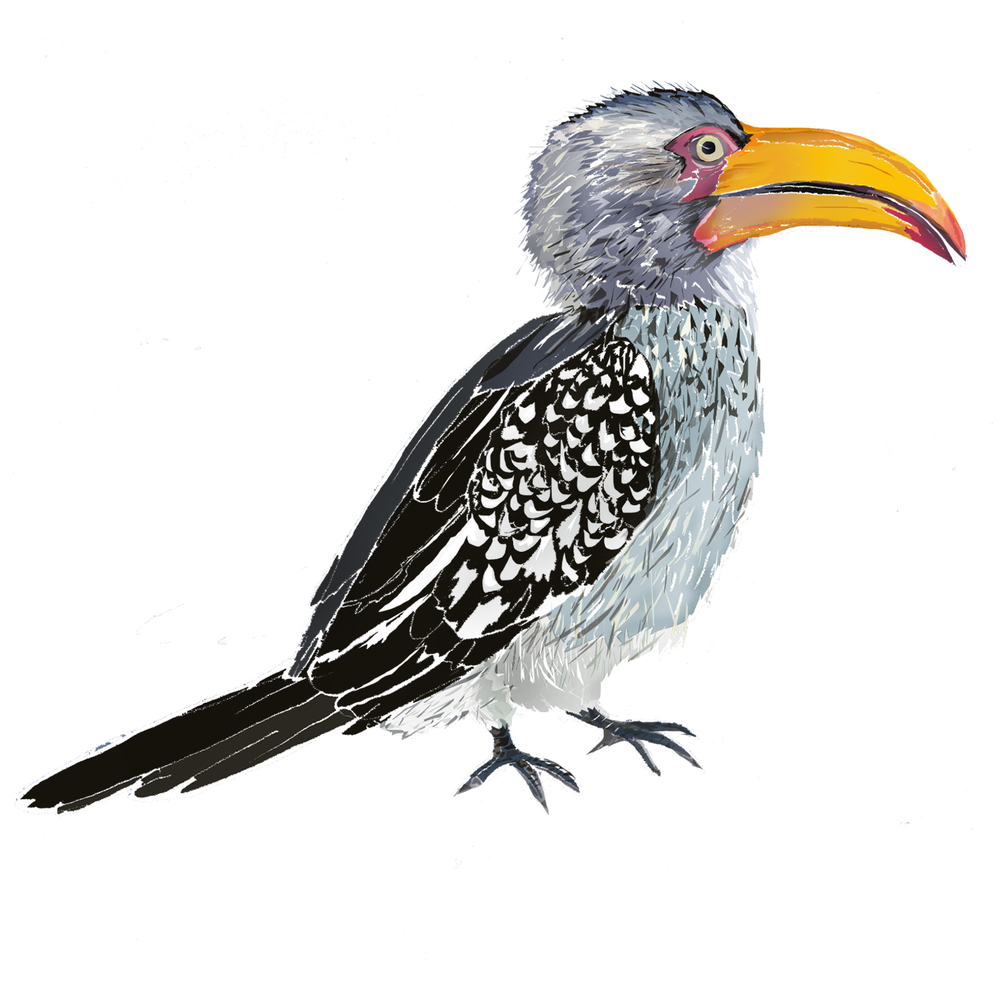 Y - Yellow-billed hornbill