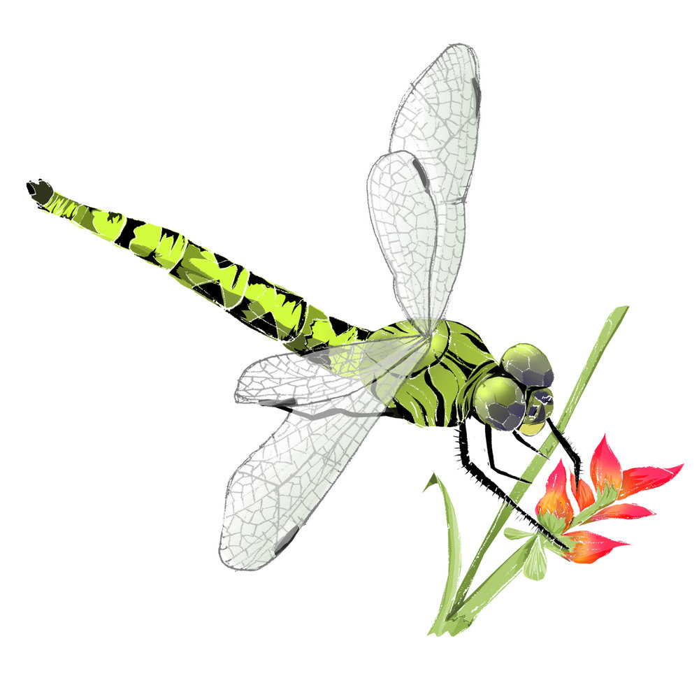 D - Dragonfly