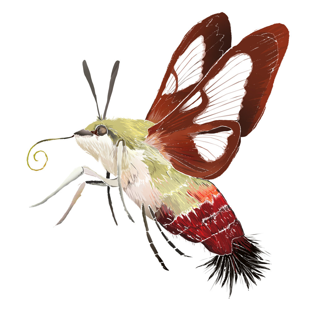 H - Hummingbird Moth
