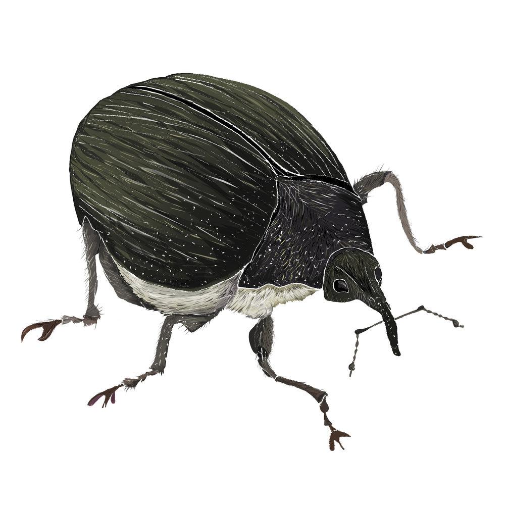 I - Iris Weevil