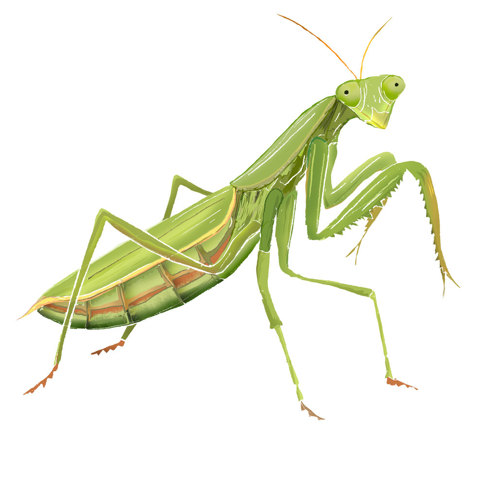 P - Praying Mantis