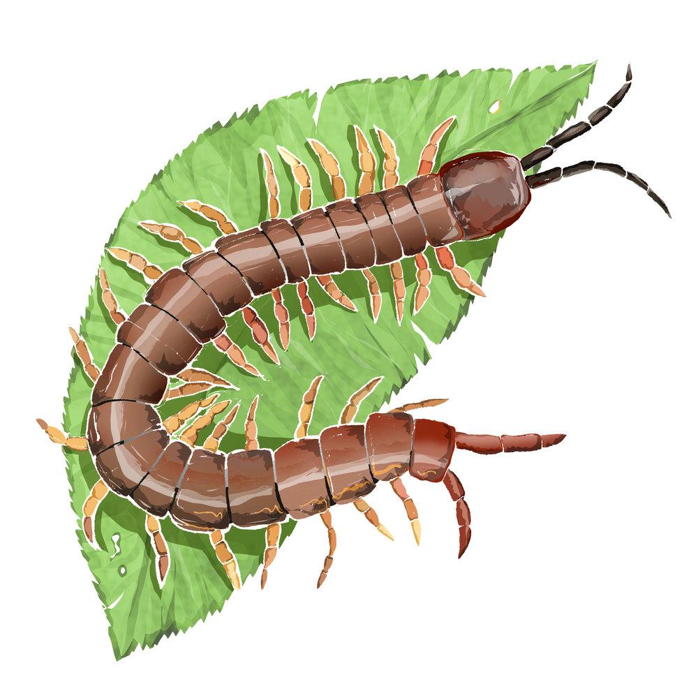 S - Stone Centipede