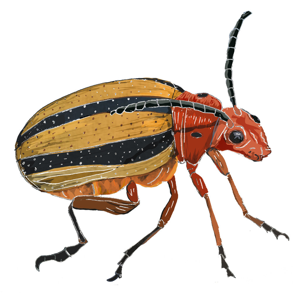 T - Threelined Potato Beetle