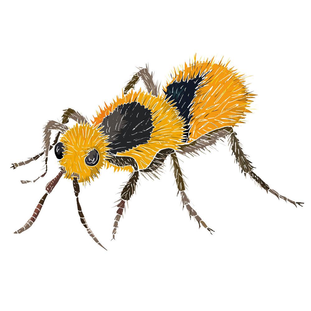 V - Velvet ant